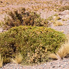 Parastrephia spec., Parastrephia species are an important component of the vegetation on the Altiplano