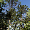 Araucaria brasilera