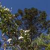 Jasminum spec. and Araucaria brasilera
