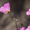 Cistanthe grandiflora?