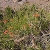 Mutisia subulata