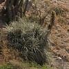Echinopsis chiloensis and Puya beteroniana?