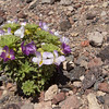 Viola cotyledon or the very similar V. ...