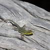 Lilaemus tenuis, Thin Tree Lizard
