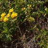 Calceolaria, which species?