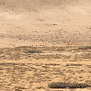 Lama guanicoe, guanaco