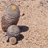 Copiopoa cinerea subsp. columna-alba