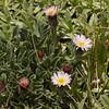 Erigeron andicola? in a mat of Laretia acaulis