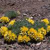 Tropaeolum polyphyllum?