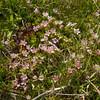 Anagallis alternifolia?