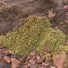 Pycnophyllum?