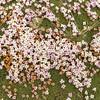 Junellia silvestrii (steppe NE of Parque Nacional Torres del Paine)