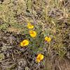 Adesmia villosa (steppe vegetation NE of Parque Nacional Torres del Paine)