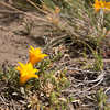 Alstroemeria patagonica (steppe vegetation NE of Parque Nacional Torres del Paine)