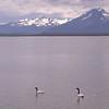 Black-necked swan - Cygnus melancoryphus - at Puerto Natales(photograph by Kok van Herk)