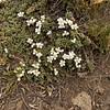 Nassauvia maeviae? (steppe vegetation NE of Parque Nacional Torres del Paine)