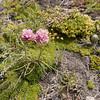 Armeria maritima ssp. andina (steppe vegetation NE of Parque Nacional Torres del Paine)