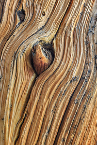 Weathered Bristlecone Pine, Mt Goliath