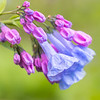 Virginia Bluebell