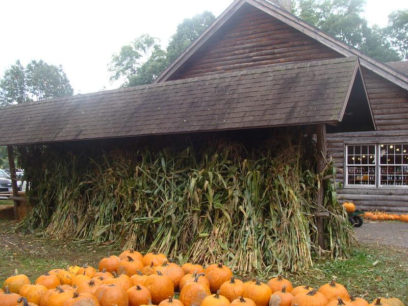 Corn Stalks and Pumpkins