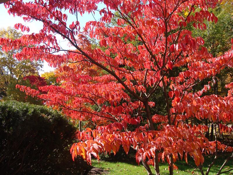 Kousa Dogwood in Autumn
