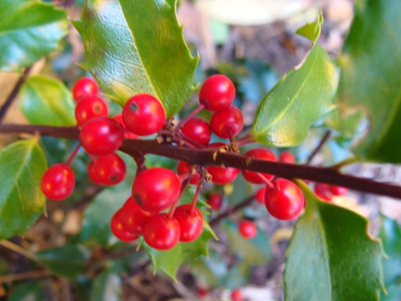Hawthorne Red Berries
