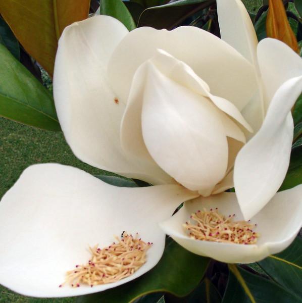 Whie Magnolia Blossom