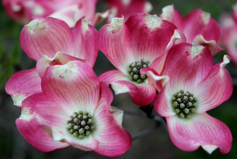 Cornus Florida Dogwood Blossoms