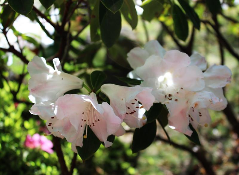 Pale Pink Azaleas