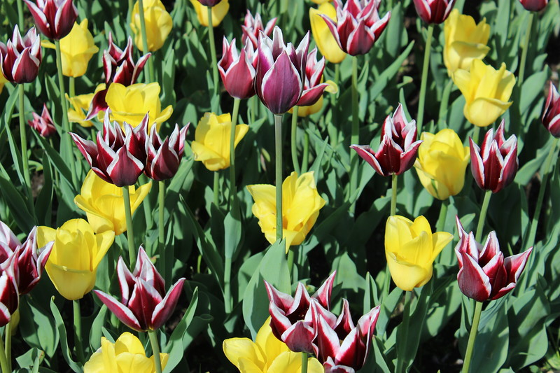 Red and White Variegated and Yellow Tulips