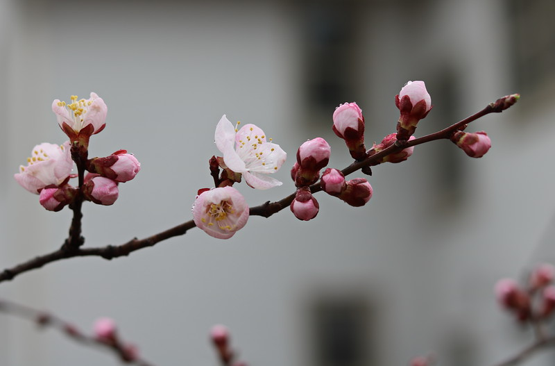 Apricot Blossoms and Buds