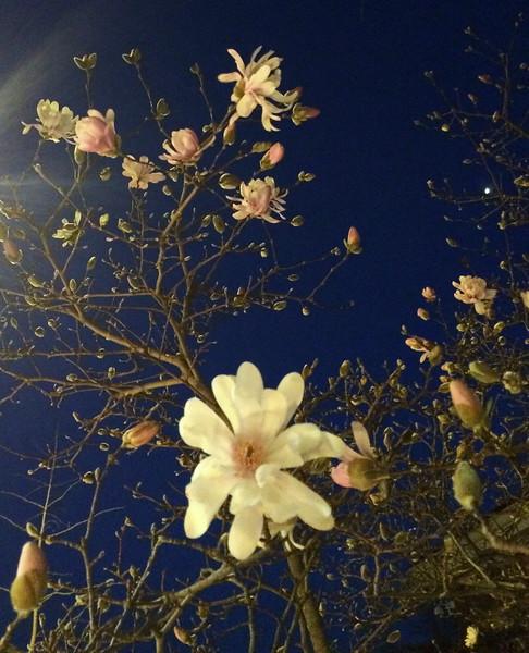 White Linen Magnolia Blossoms