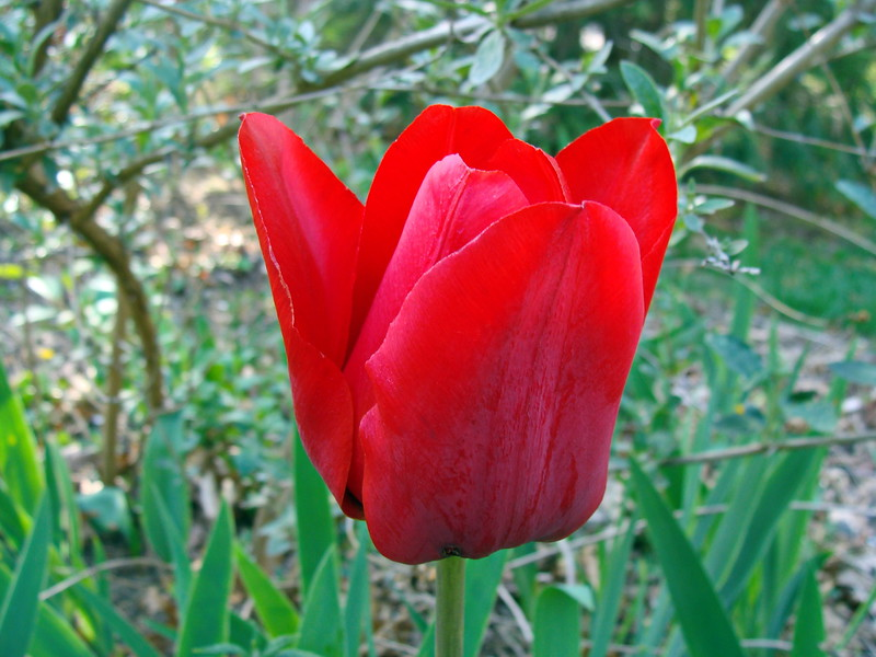 Red Tulip in the Morning