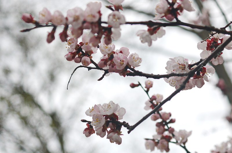 Apricot Blossoms in Spring