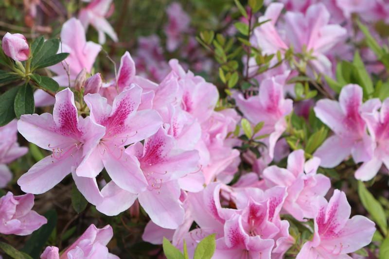 Pink Azalea Blossoms