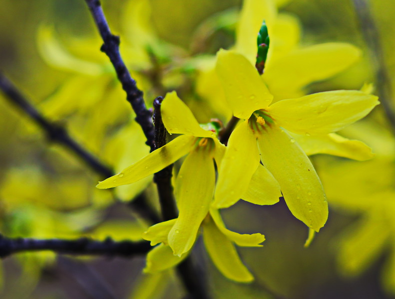 Forsythia iBlossoms