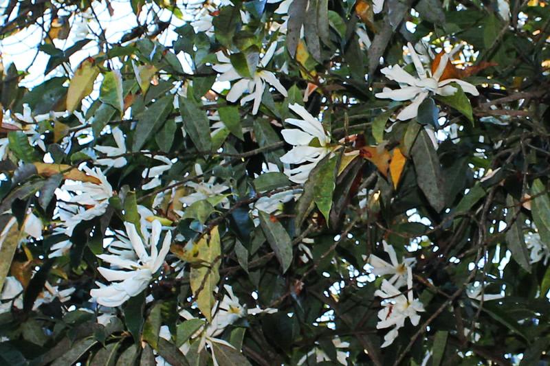 Sweet Michelia Magnolia