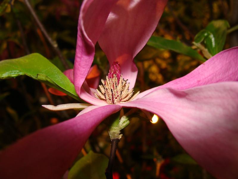 Magolia Blossom