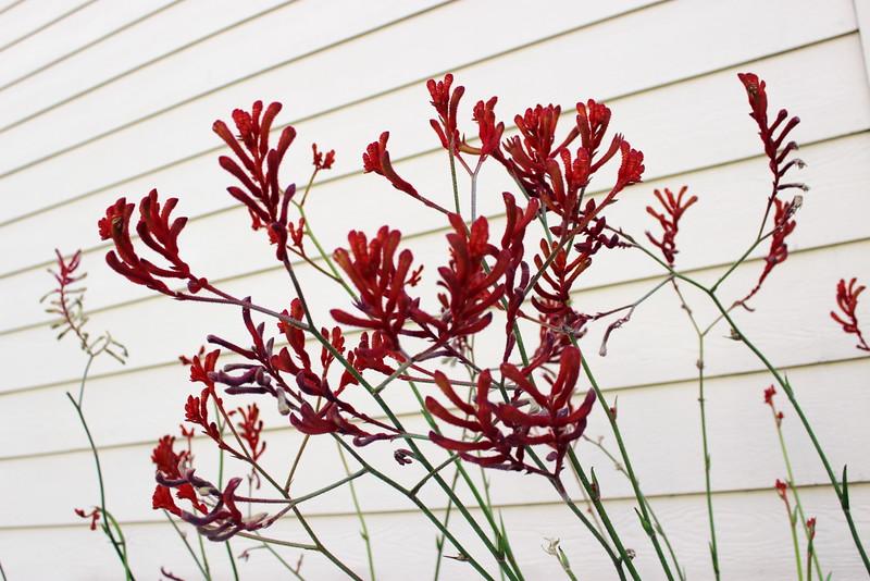 Firebush Blossoms