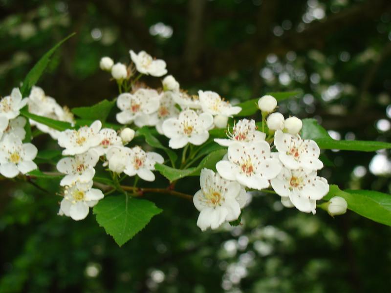 Hawthorne Tree Flowers