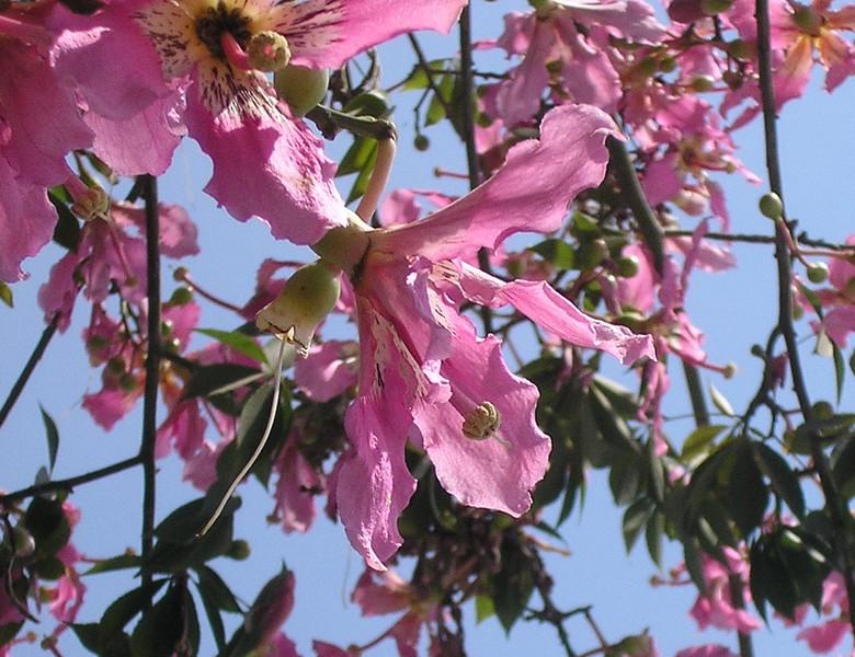 Silk Floss Tree Flowers (Ceiba speciosa)