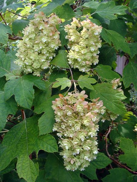 Oak Leaf Hydrangea Blossomos
