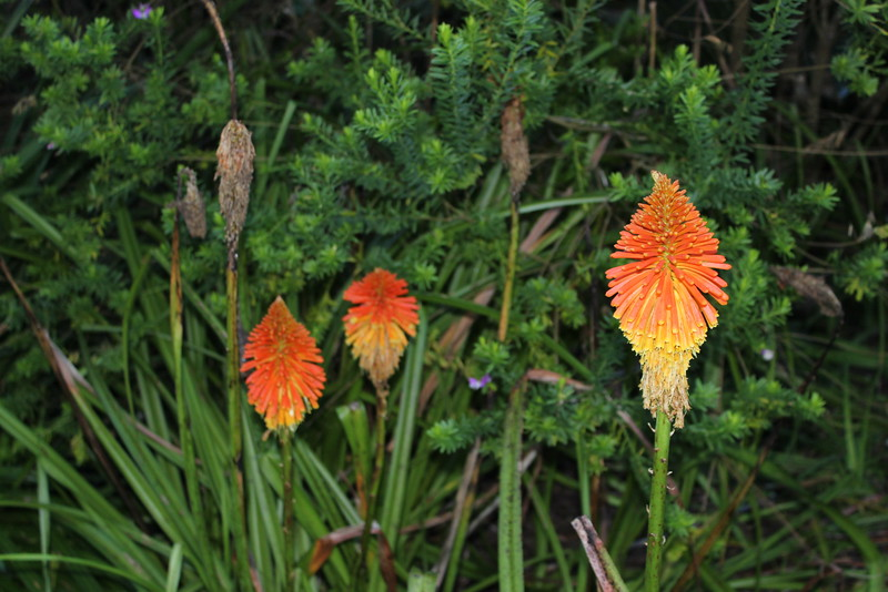 Red Hot Pokers (Kniphofia rooperi)