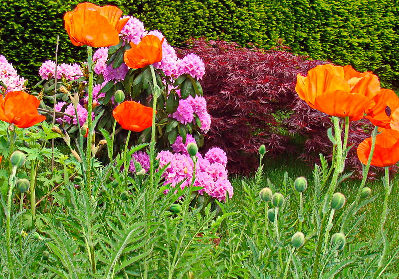 Orange Oriental Poppies in a Butterfly Garden