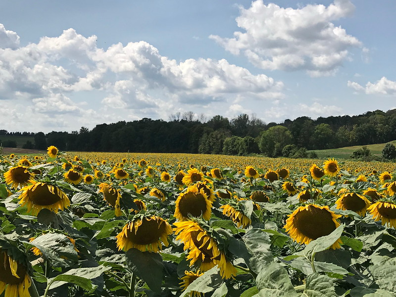 Field of Yellow and Brown