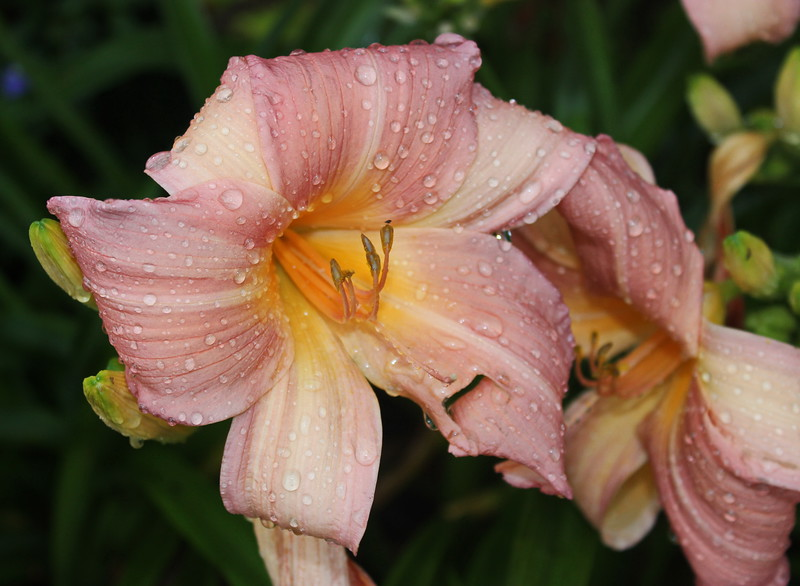 Day Lily after the Storm