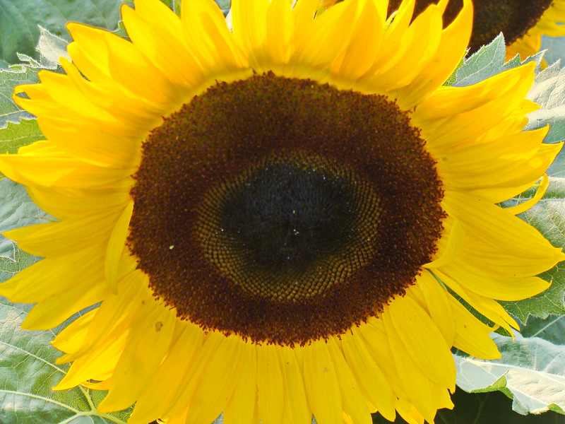 Bright Sunflower