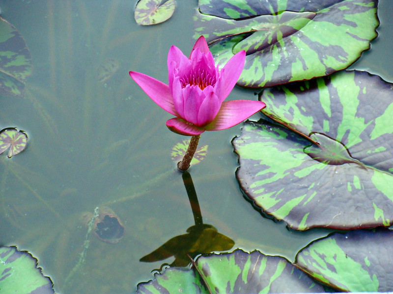 Water Lily in the Reflection Pool