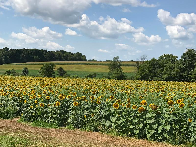 Sunflowers and Corn