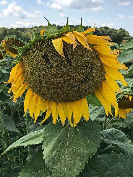 Silly Sunflower